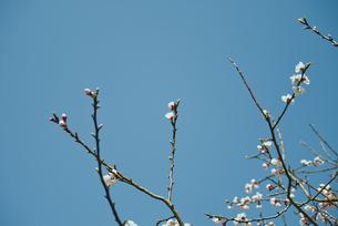 咲きかけの木の花の写真素材 [FYI00210600]