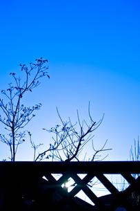 青空を背景にした枯れ木のシルエットの写真素材 [FYI00210602]