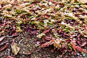 紅葉の落ち葉の写真素材 [FYI00210603]