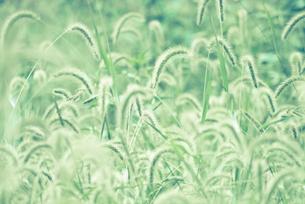 群生するススキの穂の写真素材 [FYI00210611]