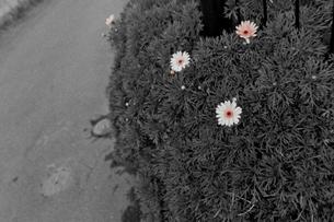 道端に咲くマーガレットの写真素材 [FYI00210612]