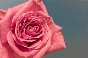 ピンク色のバラの接写の写真素材 [FYI00210617]