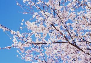 桜と青空の写真素材 [FYI00210657]