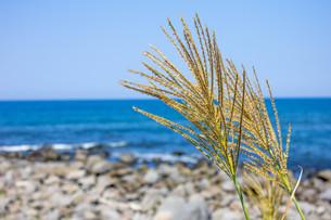 海とススキの写真素材 [FYI00210682]