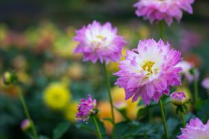 ピンクのダリアの写真素材 [FYI00210701]