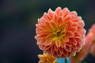 オレンジのダリアの写真素材 [FYI00210704]