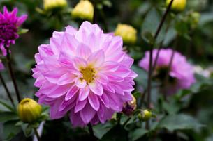 ピンクのダリアの写真素材 [FYI00210707]