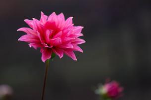 ピンクのダリアの写真素材 [FYI00210712]
