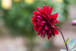 赤いダリアの写真素材 [FYI00210713]