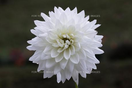 真っ白のダリアの素材 [FYI00210716]
