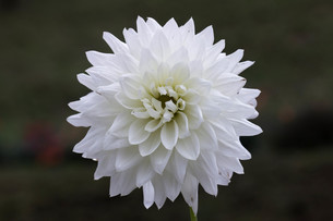 真っ白のダリアの写真素材 [FYI00210716]
