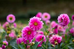 ピンクのダリアの写真素材 [FYI00210717]