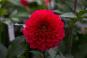 赤いダリアの写真素材 [FYI00210719]