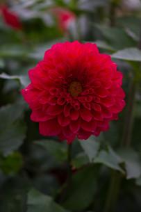 赤いダリアの写真素材 [FYI00210723]