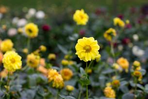 黄色のダリアの写真素材 [FYI00210724]