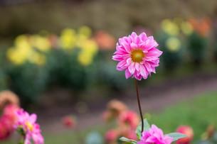 ピンクのダリアの写真素材 [FYI00210730]
