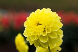 黄色いダリアの写真素材 [FYI00210735]