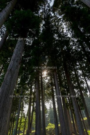 杉の写真素材 [FYI00211090]