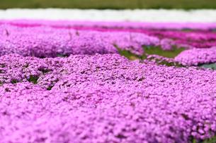 芝桜の写真素材 [FYI00211120]