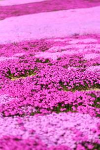 芝桜の写真素材 [FYI00211126]