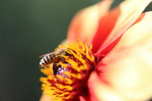 ダリアとハチの写真素材 [FYI00211492]