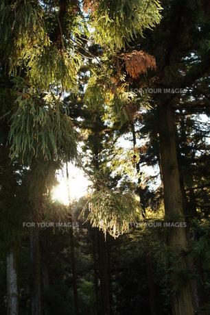 杉林の写真素材 [FYI00211556]