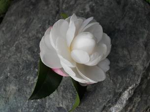 山茶花の写真素材 [FYI00211571]