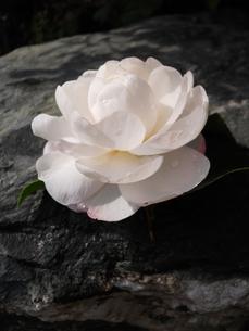 山茶花の写真素材 [FYI00211572]