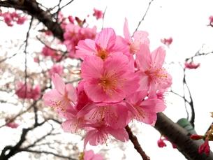 桜の写真素材 [FYI00211587]