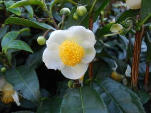 お茶の花の写真素材 [FYI00211606]