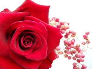 薔薇の写真素材 [FYI00211641]