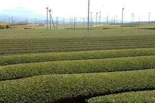 茶畑の写真素材 [FYI00211646]
