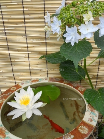 睡蓮と紫陽花の写真素材 [FYI00211687]