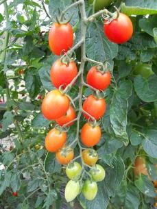 イタリアントマトの写真素材 [FYI00211712]