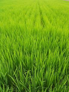 初夏の稲の写真素材 [FYI00211723]