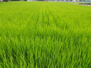初夏の稲の写真素材 [FYI00211724]