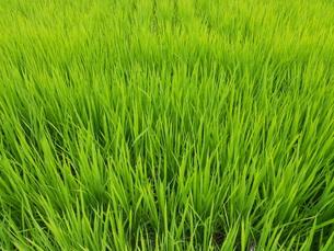 初夏の稲の写真素材 [FYI00211726]