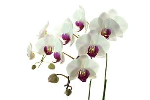 胡蝶蘭の写真素材 [FYI00211877]