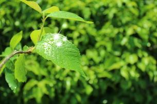 サクランボの葉の写真素材 [FYI00211880]