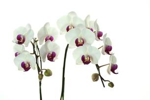 胡蝶蘭の写真素材 [FYI00211883]