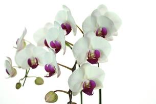 胡蝶蘭の写真素材 [FYI00211884]