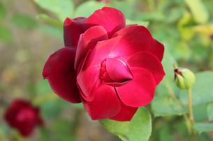 薔薇の写真素材 [FYI00212159]