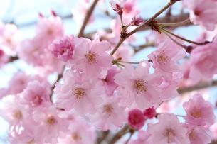 枝垂桜の写真素材 [FYI00212160]