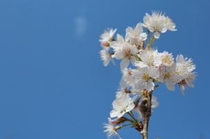 さくらんぼの花の写真素材 [FYI00212165]