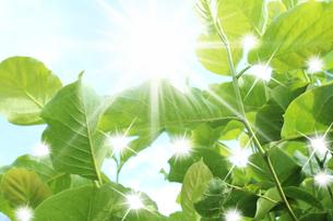 太陽と新緑の写真素材 [FYI00212190]