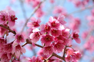 寒緋桜の写真素材 [FYI00212203]