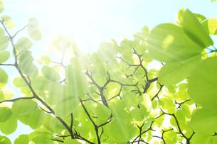 葉っぱと日差しの写真素材 [FYI00212205]