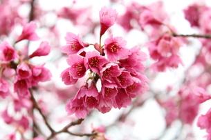 寒緋桜の写真素材 [FYI00212209]