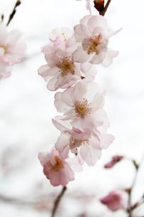 桜の写真素材 [FYI00212216]