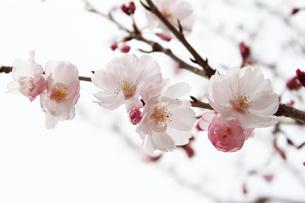 桜の写真素材 [FYI00212241]